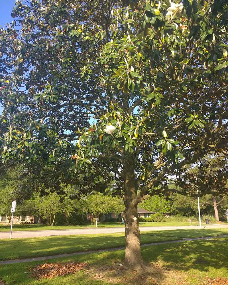 Picture of magnolia after raising tree canopy