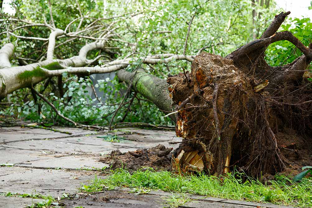 Picture of fallen trees after a hurricane in Baton Rouge Louisiana
